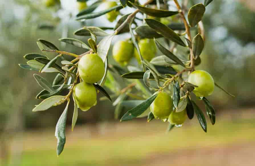 Oliven-am-Baum